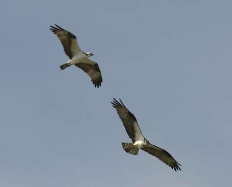 Belwood Ospreys